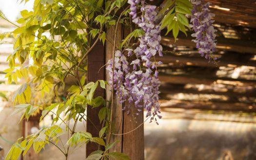 Philadelphia Garden Vines